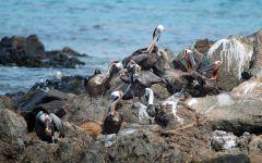 Pelikanen aan de waterkant - klein