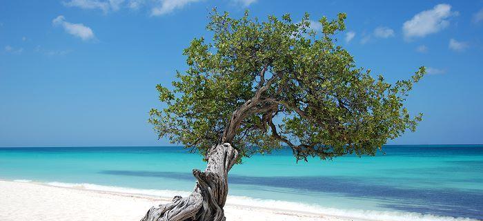 Aruba's symbol - de Divi-Divi Boom