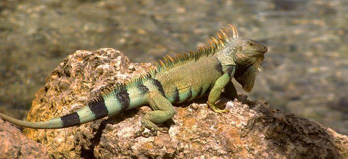 Iguana op een steen