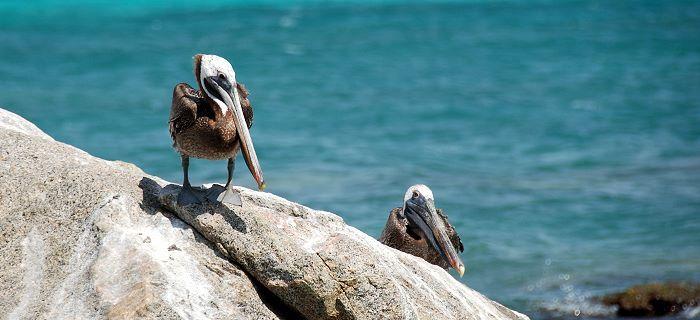 Pelikanen aan de waterkant